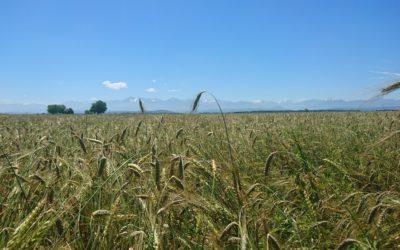 Variétés de blés anciens : variétés du futur ?