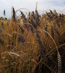 Epillet du blé poulard